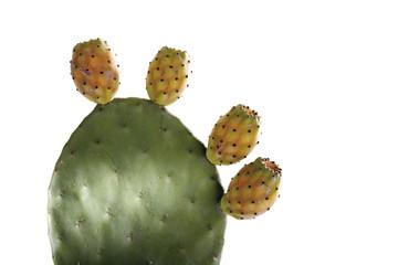 Kaktus, Cactus Opuntia ficus-indica, Nahaufnahme