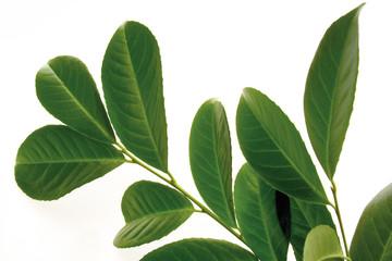 Lorbeer, Blätter (Prunus laurocerasus), Nahaufnahme