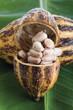 Kakaopflanze, Schale und Bohnen auf Blatt