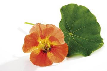 Blüte und Blatt der Kapuzinerkresse (Tropaeolum majus), Nahaufnahme