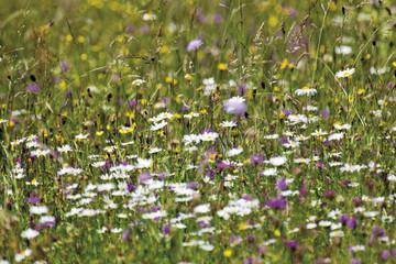 Deutschland, Bayern, Wildblumen in Feld