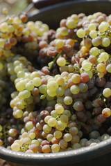 Weiße Trauben, Nahaufnahme