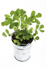 Erdnusspflanze, Nahaufnahme, erhöhte Ansicht