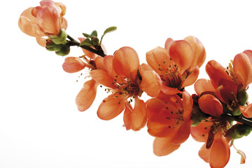 Blüten der blühenden Quitte (Chaenomeles), Nahaufnahme