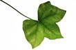 Ivy Leaf (Hedera helix), Nahaufnahme