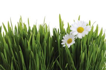 Grünes Gras und weiße Margeriten