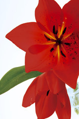 Rote Tulpe (Tulipa gesneriana), Nahaufnahme