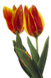 Tulpen vor weißem Hintergrund, (Tulipa gesneriana), Nahaufnahme
