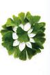 Ginkgo Blätter, erhöhte Ansicht, Nahaufnahme