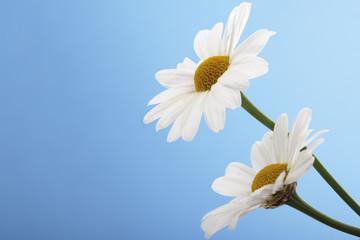 Margeriten, Argyranthemum frutescens