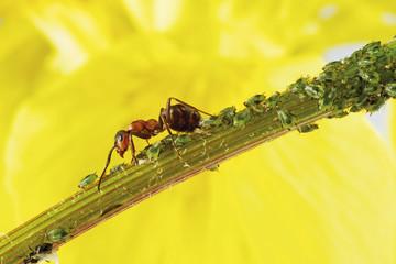 Ameise auf Stamm mit Blattläusen, Nahaufnahme