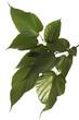 Maulbeerbaum, Blätter, Morus nigra