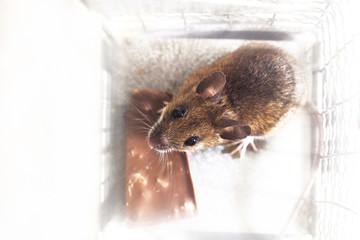 Maus in der Falle
