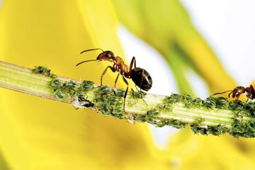 Rote Ameisen auf Stamm mit Blattläusen