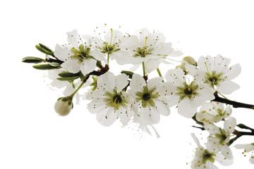 Blüten von Weißdorn (Crataegus), Nahaufnahme