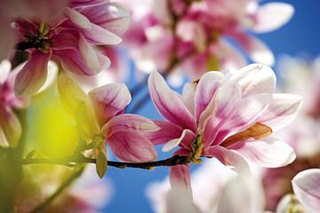 Magnolien, Blumen, Nahaufnahme