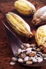 Kakao, Ernte und Saatgut