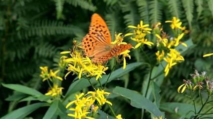 farfalla arancione maculata su fiori gialli