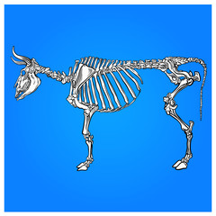 the skeleton of a cow