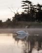Swan gliding on misty lake at dawn