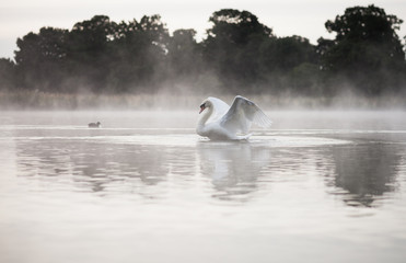 Swan on misty lake at dawn