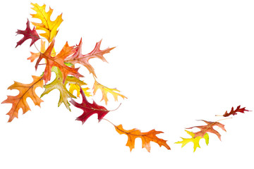Autumn oak leaves falling and spinning isolated on white