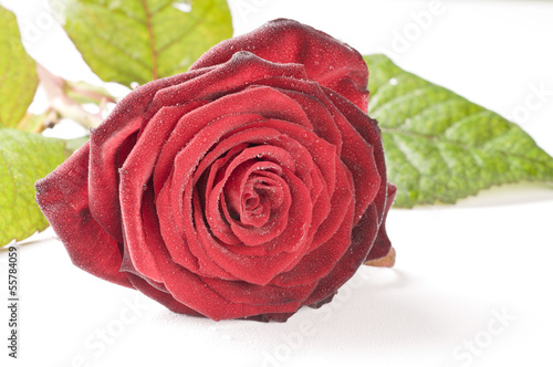 Flower of red rose isolated