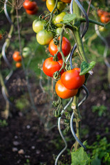 tomatoes plant at vegetables bed