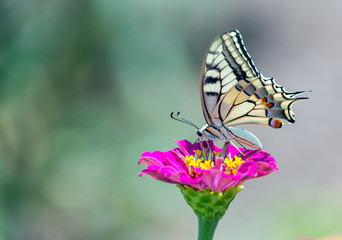 Old World Swallowtail butterfly feeding on flower