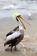 South American Pelican on Ballestas Islands,Paracas.Peru.