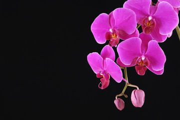 Pink branch orchid on black background