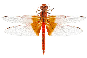 Scarlet Dragonfly species Crocothemis erythraea