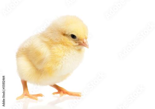 Foto op Canvas Kip Little chicken