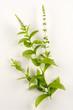 Mentha spicata / Menthe verte
