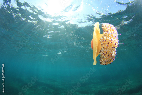 Fried Egg Jellyfish underwater in ocean