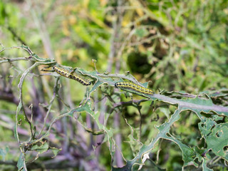 Caterpillars on Kale leaves