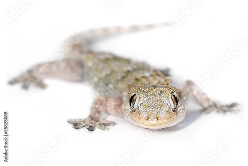 European Common Gecko, with selective focus on eyes