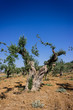 giardino di ulivi