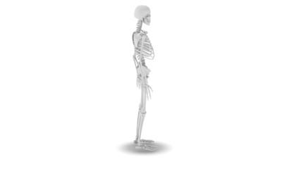 Skelett_rotating