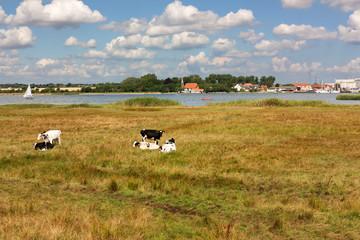 Grünland mit Kühen an der Schlei in Schleswig-Holstein