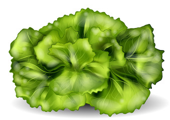 lettuce isolated on a white