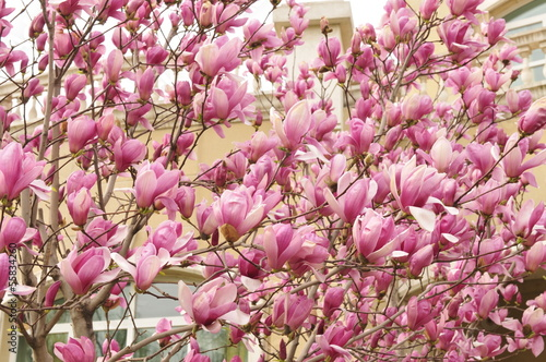 Poster Magnolia flower blooming