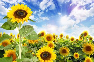 Sommer: Sonnenblumenfeld mit blauem Himmel