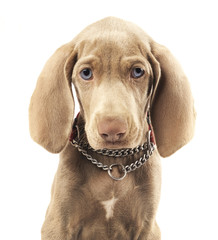 Weimaraner dog on a pure white background