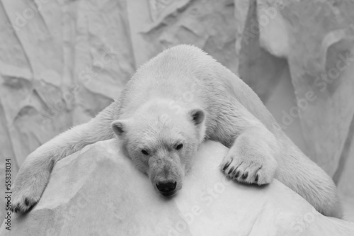 Aluminium Ijsbeer Holidaymaker polar bear closeup