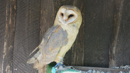 Barn owl (Tyto alba) was purified