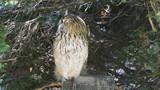 The eagle owl (Bubo bubo) bred in captivity poster