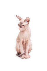 Sphynx cat sitting on a white background