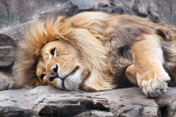 Lion resting on rocks closeup