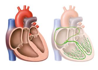 Reizleitungssystem des Herzens